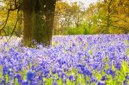 wild flowers: Een Tapijt van blauwe hyacinten in het bos mei Stockfoto