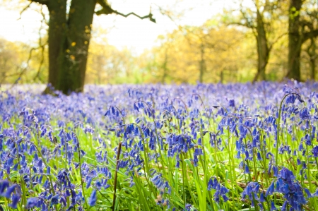 A Carpet of bluebells in the woods in May