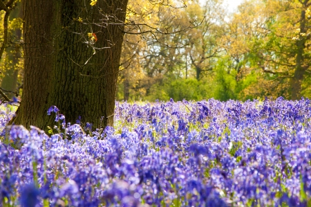 woodland scenery: A Carpet of bluebells in the woods in May