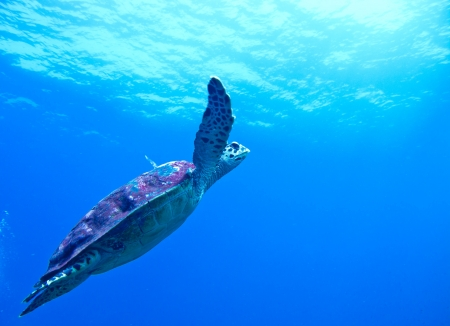 the sea turtle swimming whit the diver photo
