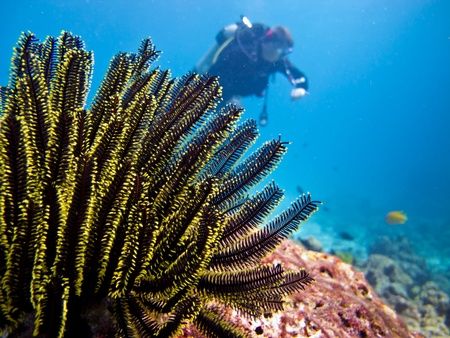 Diver underwater with feather starfish photo
