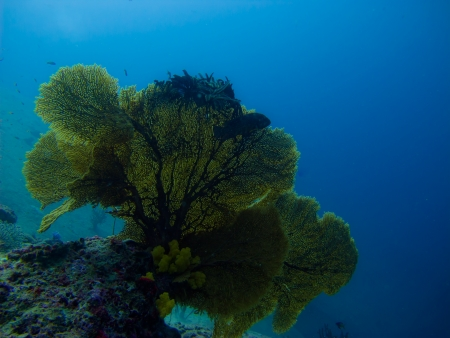Yellow sea fan whit the fish swiming photo