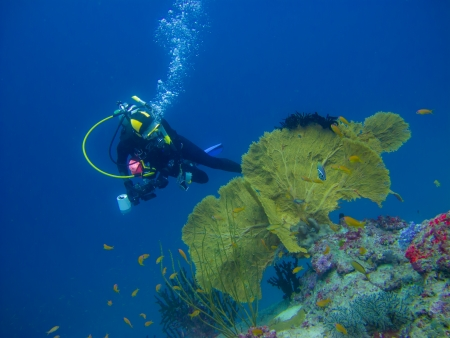 Yellow sea fan whit the fish swiming and the diver photo