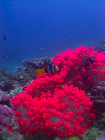 pink anemonefish: The pink anemone whit the clownfish at Similan