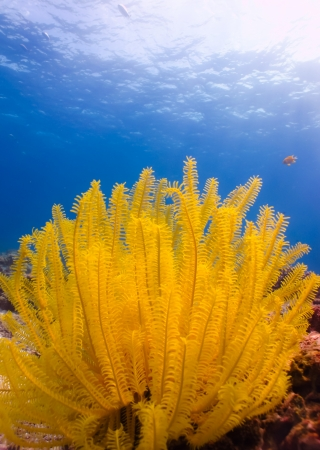 The yellow sea star stay onthe coral photo