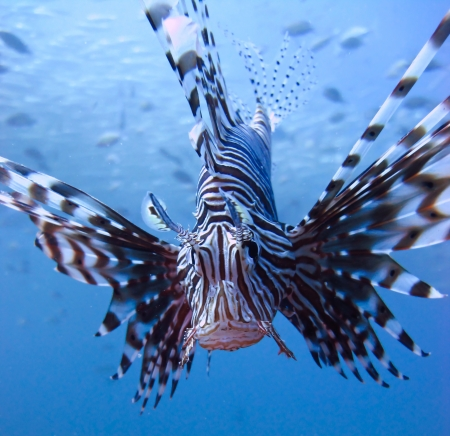 Closeup view of lionfish in blue water