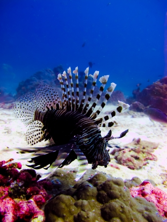 turkeyfish: Closeup view of lionfish in blue water