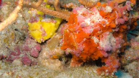 wildllife: Red frogfish on coralreef - macro Stock Photo