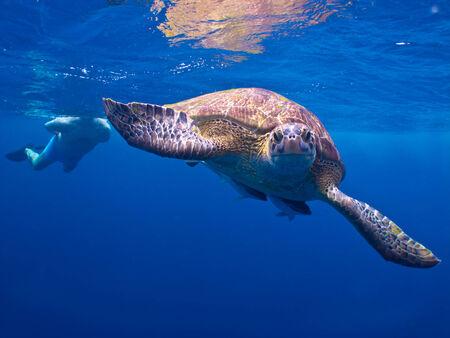 tortue verte: La tortue verte � similan Iland Tha�lande