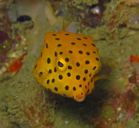 arothron: Marine fish, tropical reef fish, yellow box puffer fish