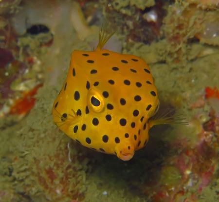 boxfish: Marine fish, tropical reef fish, yellow box puffer fish