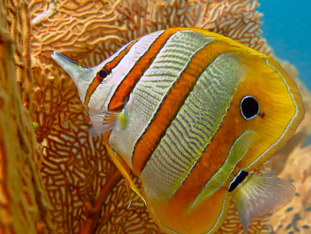 Sea life: exotic tropical coral reef copperband butterfly fish