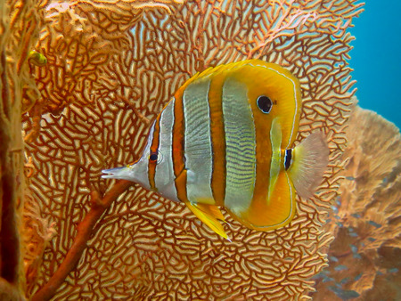 Sea life: exotic tropical coral reef copperband butterfly fish photo