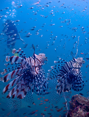 zebrafish: Lionfish in andaman sea reef background