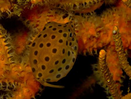 coron: Marine fish, tropical reef fish, yellow box puffer fish