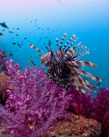 Lionfish in andaman sea reef background photo