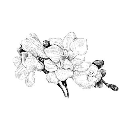 drown: black and white sketch hand drown illustration of freesia flower Illustration