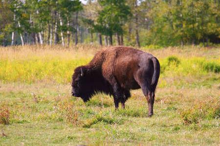 bison ,Elk National Park,Alberta,Canada Reklamní fotografie