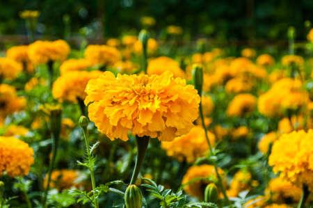 graden: marigold graden