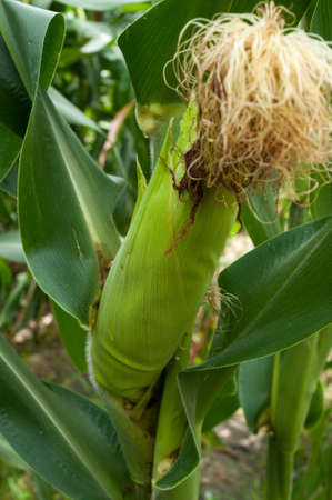 Corn in Thailand photo