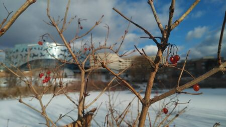 Close up shot of the shrub and it fruits by the now frozen Stong Pond, York University Keele Campus. Zdjęcie Seryjne