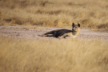 A spotted hyena is lying on the ground and looks up.