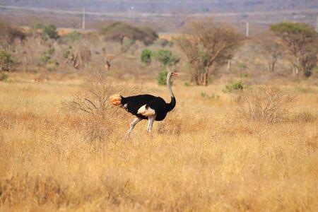 Somali ostrich in Kenya Standard-Bild