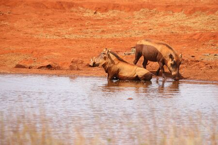 Two warthogs takes a bath in the water hole.