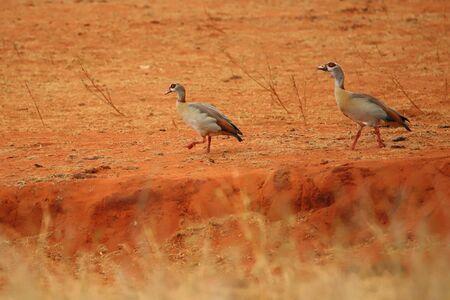 Two egyptian geese in Kenya Standard-Bild