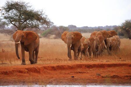 Wandering herd of elephants Standard-Bild