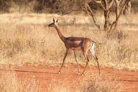 Gerenuk in Kenya
