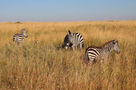 Zebras in the high grass of the Maasai Mara