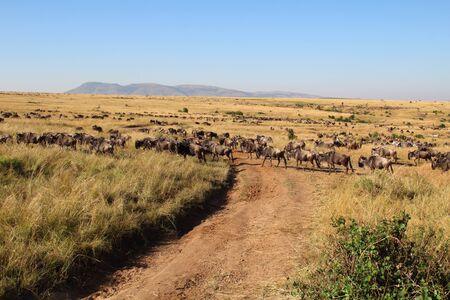Many animals wander through the Masai Mara in August.