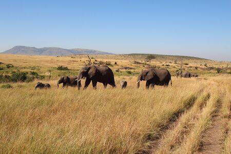 Wandering elaphant group in the Masai Mara Standard-Bild