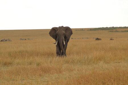 African elephant in a wide plain in Kenya