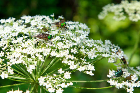 Insects with green eyes on a white flowering plant