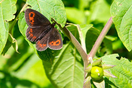 Woodland ringlet in the Gesäuse National Park in Austria