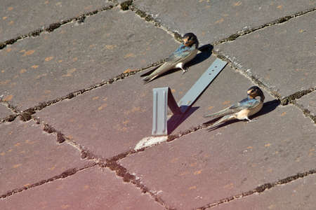 Two barn swallow are sitting on the roof of a house Standard-Bild