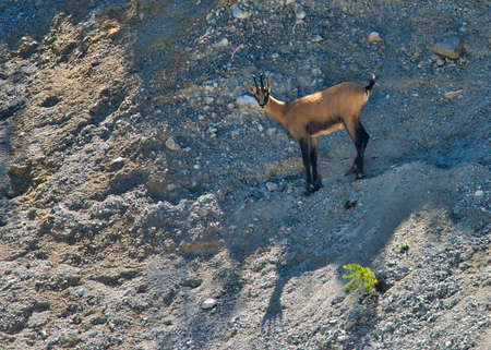 Chamois in stony terrain in the Gesäuse National Park in Austria