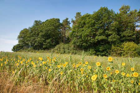 Field of sunflowers and trees near Hümmel in Rhineland-Palatinate, Germany