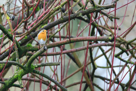 The robin looks out of the bushes Standard-Bild