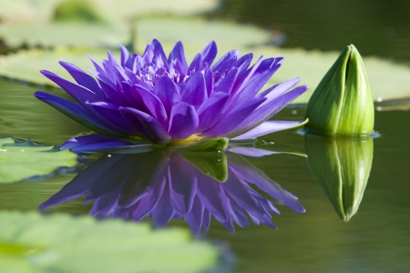 Water lilly flower Stock Photo - 14411225