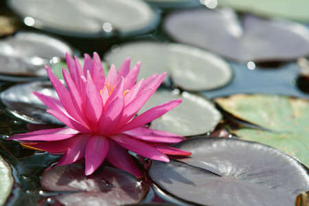 Water lilly flower Stock Photo - 14409485