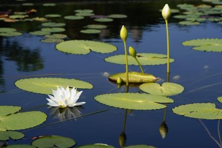 lirio de agua: Water Lilly flor Foto de archivo
