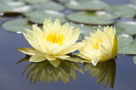 Water lilly flower Stock Photo - 14494571