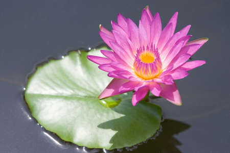 Water lilly flower Stock Photo - 14494517