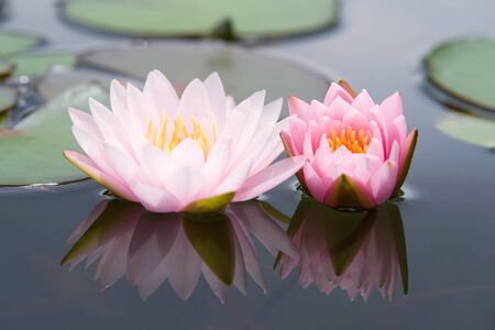 Water lilly flower Stock Photo - 14494578