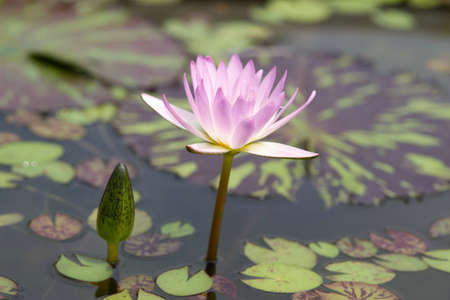 Water lilly flower photo