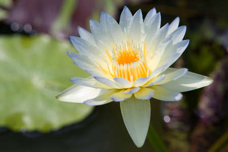 Water lilly flower Stock Photo - 14494532