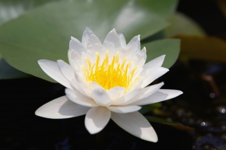 Water lilly flower Stock Photo - 14494552